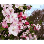 Майское цветение (PC4050137)